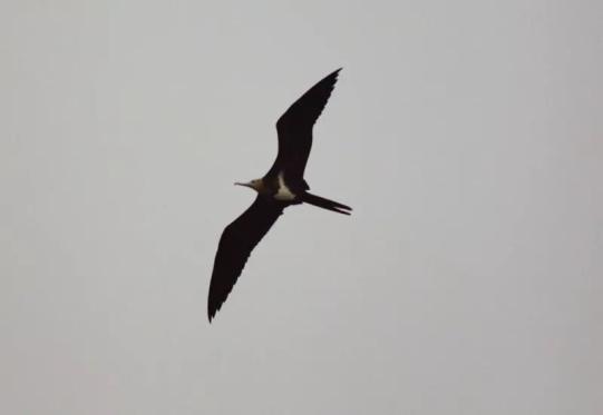白斑军舰鸟-温州洞头